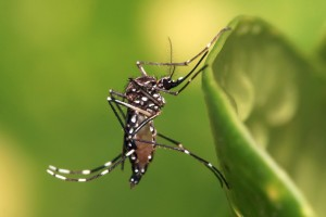 The virus is transmitted by an infected Aedes Egypti mosquito