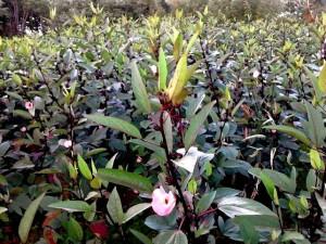 A garden of sorrel