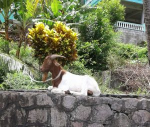PHOTO OF THE DAY: Goat chilling