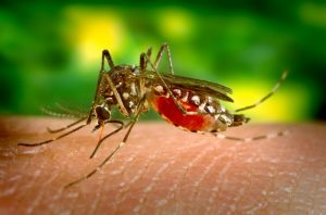 Yellow fever is transmitted by the Aedes Egypti mosquito
