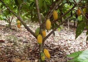 Cocoa Cluster seeks input from agro-processors