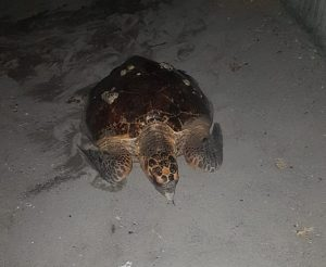 IN PICTURES (with video): Turtle nesting on Goodwill beach