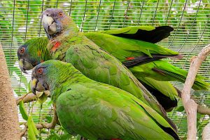 BirdsCaribbean welcomes renewed support for Dominica's native parrots
