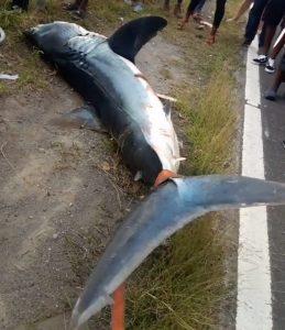 Statement on the Shortfin Mako Shark captured along the Tarreau coastline