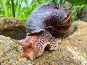 ANNOUNCEMENT: Slug baiting to control spread of Giant African Snail in Stockfarm and Bellevue Rawle