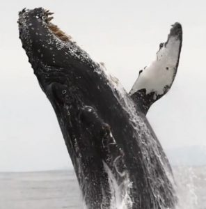 Correction to CHECK THIS OUT (video): Humpback spotted off coast of California